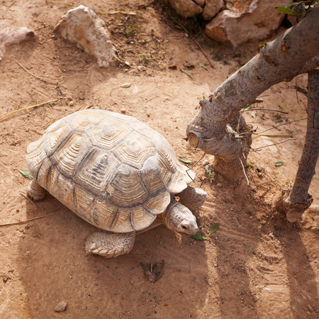 spurred: African spurred tortoise eating green leaves, high angle view Stock Photo