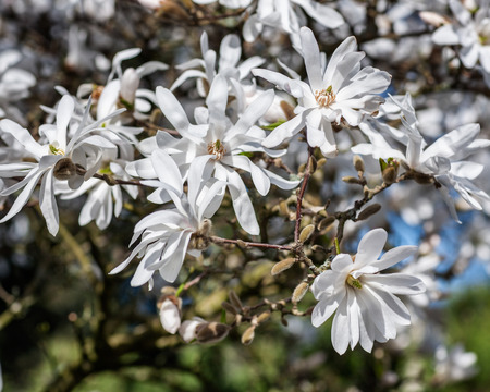 Magnolia stellata tree in bloom in an early spring
