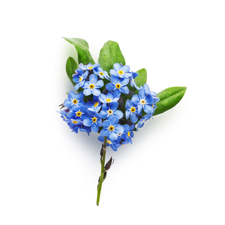 forget me not: Bunch of small blue forget me not flowers with leaves isolated on white background clipping path included