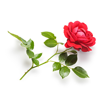 single rose: Red rose flower with stem and leaves. Climbing roses in summer garden. Single object isolated on white background. Clipping path Stock Photo