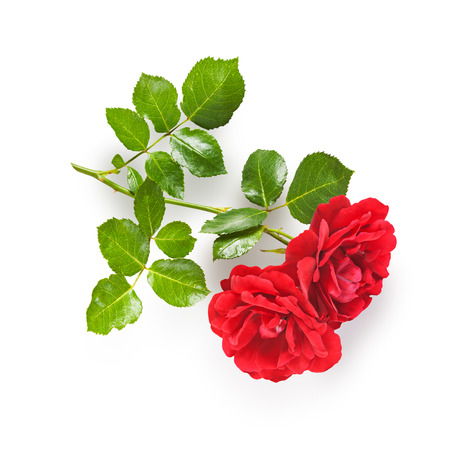 flower garden path: Red rose flower with stem and leaves. Climbing roses in summer garden. Single object isolated on white background. Clipping path Stock Photo