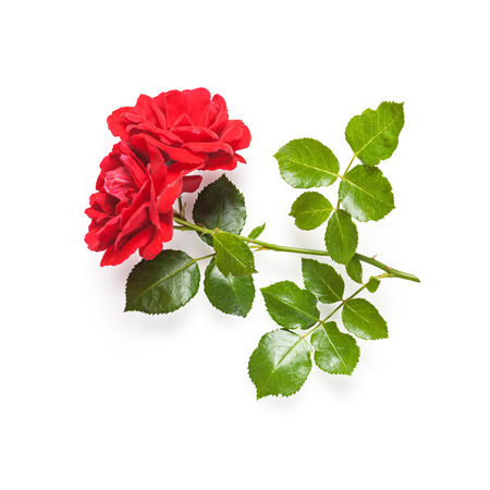 Red rose flower with stem and leaves. Climbing roses in summer garden. Single object isolated on white background. Clipping path photo