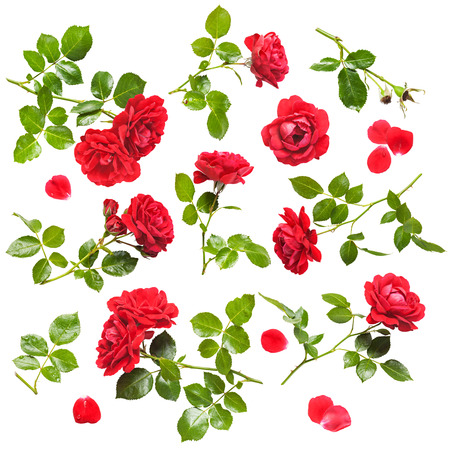 climbing plant: Beautiful red rose flowers collection isolated on white background. Fresh climbing roses with water drops