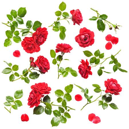 rosas rojas: Hermosa rosa roja florece la colección aislada en el fondo blanco. Rosas trepadoras frescas con gotas de agua