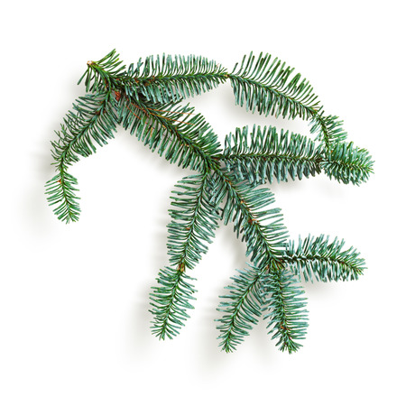 fir twig: Fir tree branch. Christmas themes. Coniferous blue spruce twig isolated on white background. Object with clipping path