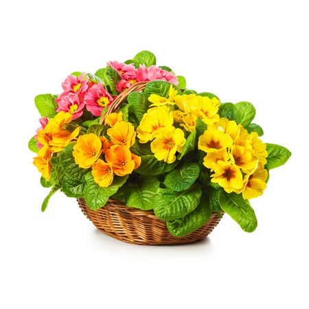 primula: Colorful primula spring flowers in basket isolated on white background. Single object with clipping path