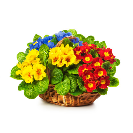 Colorful primula spring flowers in basket isolated on white background. Single object with clipping path
