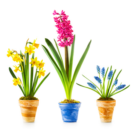 Flowerpots with daffodil, hyacinth, muscari collection isolated on white background photo