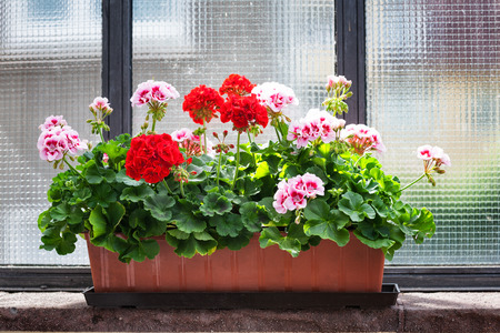 pots: Geranium flowers on windowsill