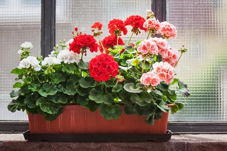 Geranium flowers on windowsill