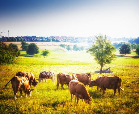 pastures: Cows grazing on pasture. Beautiful rural sunny landscape in summer Stock Photo