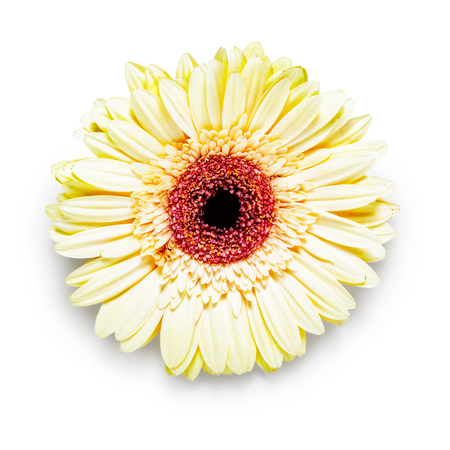 daisy flower: Gerbera daisy flower head isolated on white background. Design element.  Single object with clipping path Stock Photo