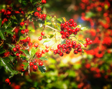 natur: Ripe hawthorn berries in autumn. Beauty in natur