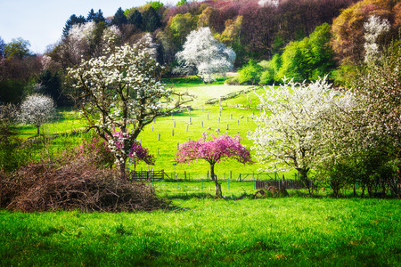 flock of sheep: Spring idyllic landscape with blossoming trees, green meadow and flock of sheep. Beauty in nature