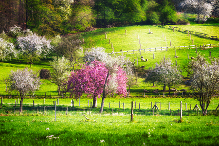 Spring idyllic landscape with blossoming trees, green meadow and flock of sheep. Beauty in nature 版權商用圖片