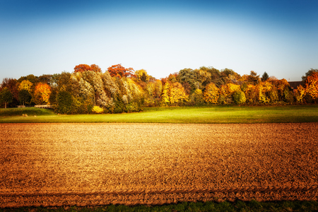 Gold agricultural field with trees and clear sky. Autumn landscape. Beauty in nature