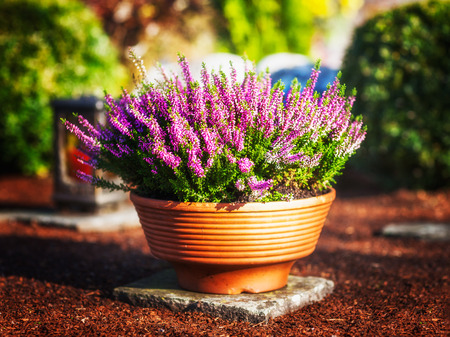 graves: Autumn flowers at cemetery in Germany. Grave with pink heather in flower pot
