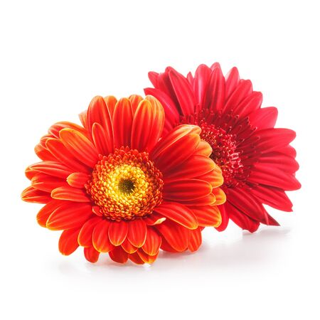 Two gerbera daisy flower heads isolated on white background. Design element. Single object with clipping path