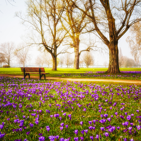 Violet blooming crocus flowers in the park. Spring landscape. Beauty in nature