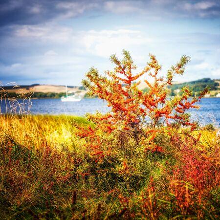 Arbre de l'argousier. Paysage côtier de la mer Baltique. Beauté dans la nature Banque d'images
