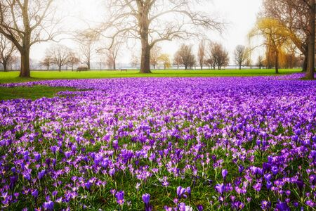 Blooming crocus flowers in the park. Spring landscape. Beauty in nature