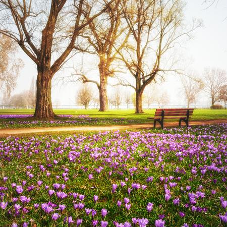 Violett blühenden Krokus Blumen im Park. Frühlingslandschaft. Schönheit in der Natur