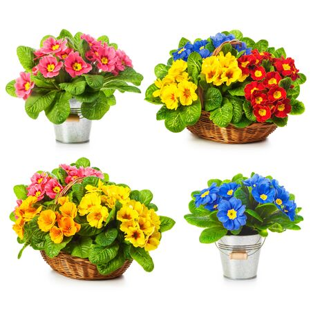 primula: Primula spring flowers in basket and bucket collection isolated on white background