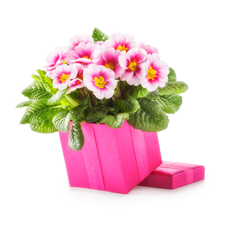 open box: Pink gift box with primula spring flowers. Holiday present and mothers day concept. Object isolated on white background clipping path included Stock Photo