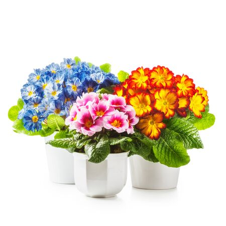 plant in pot: Spring flowers. Flowerpots with primrose primula flower isolated on white background clipping path included