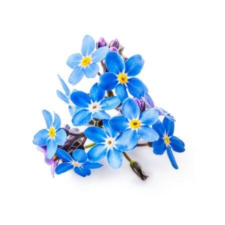 forget me not: Blue forget me not flowers bunch isolated on white background clipping path included