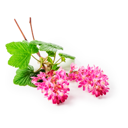 ribes: Flowering currant twig with pink flowers isolated on white background clipping path included. Ribes sanguineum plant Stock Photo