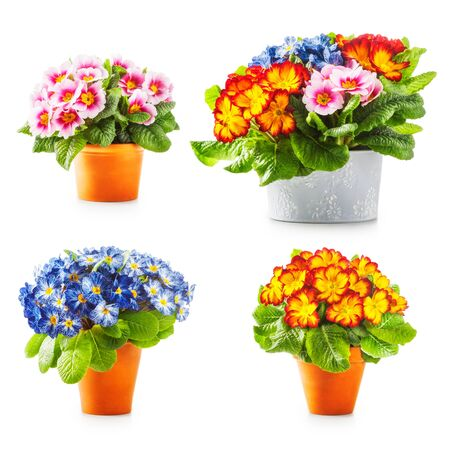 primula: Spring primrose flowers. Flowerpots with colorful primula bunch collection isolated on white background