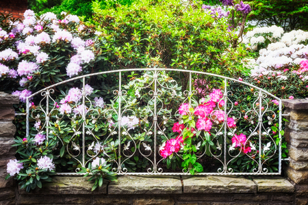 foreground focus: Blooming rhododendron with pink flowers behind fence in spring garden. Springtime background. Focus on foreground