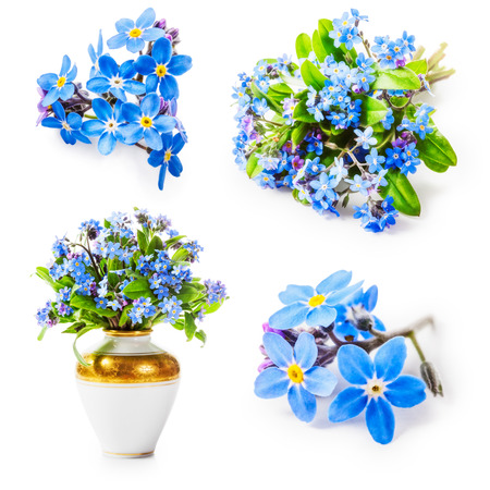 forget me not: Forget me not flower collection isolated on white background. Spring flowers. Design elements Stock Photo