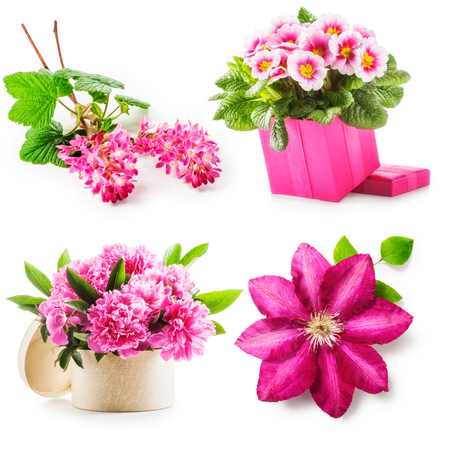 clematis: Pink flower collection. Currant flowers, clematis, peony and primrose in gift box isolated on white background. Holiday present