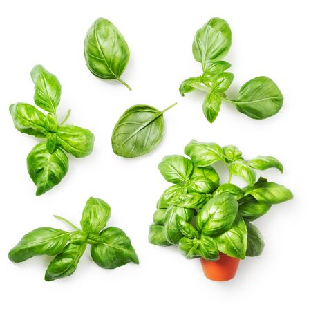 fresh leaf: Basil herbs collection. Fresh basil bunch in flowerpot and basil leaf isolated on white background. Top view, flat lay