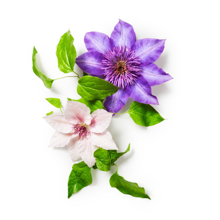bunch of flowers: Clematis flowers bunch isolated on white background Stock Photo
