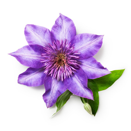 clematis: Purple clematis flower with leaves. Single object isolated on white background Stock Photo