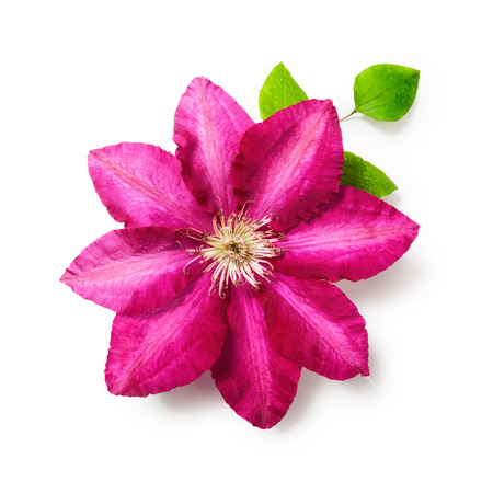 clematis flower: Pink clematis flower with leaves. Single object isolated on white background