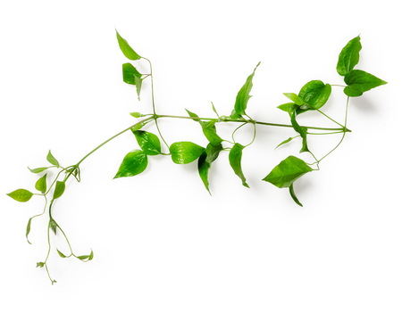 clematis: Clematis leaves with tendril. Green twig isolated on white background clipping path included. Floral design. Top view, flat lay Stock Photo
