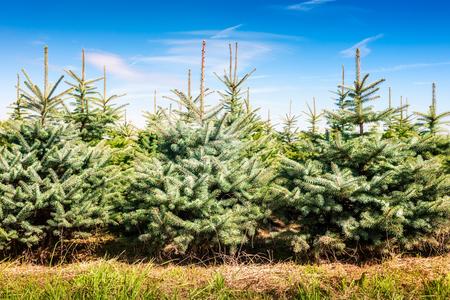 Ferme d'arbres de Noël avec épicéa et sapins. Paysage d'été