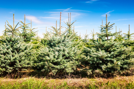 Christmas tree farm with spruce and fir trees. Summer landscape Stockfoto