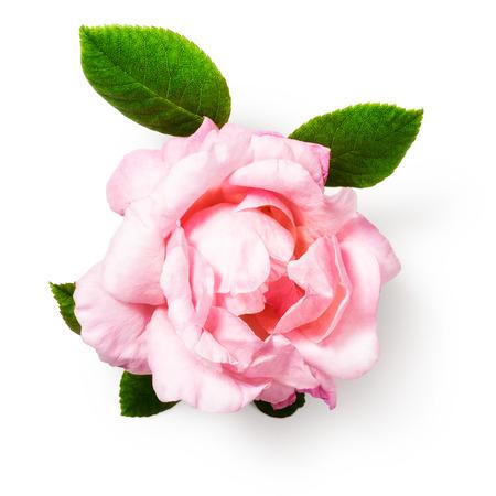 Rosa Rose Blume mit Blättern. Einzel Objekt isoliert auf weißem Hintergrund Clipping-Pfad enthalten. Sommergartenblumen. Draufsicht, flach lag