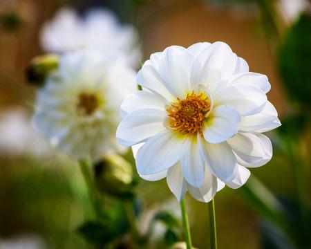 White dahlia flower against garden flowerbed background. Autumn flowers