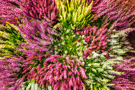 Flowerbed with pink and white heather flowers autumn arrangement flowerbed with pink and white heather flowers autumn arrangement floral background grave decoration mightylinksfo