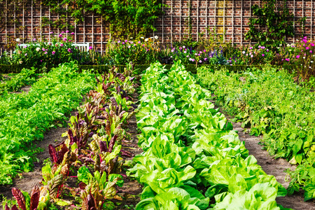 vegetable plants: Vegetable garden in late summer. Herbs, flowers and vegetables in backyard formal garden. Eco friendly gardening