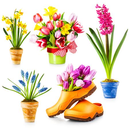 ollas de barro: Flores de primavera, maceta con tulipán, narciso, jacinto, colección muscari aislado sobre fondo blanco