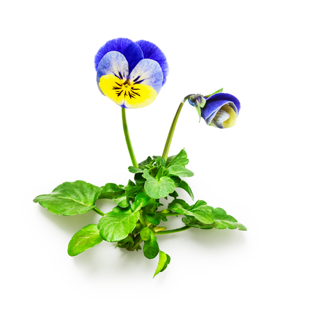 Pansy flowers with leaves isolated on white background clipping path included. Spring garden viola tricolor