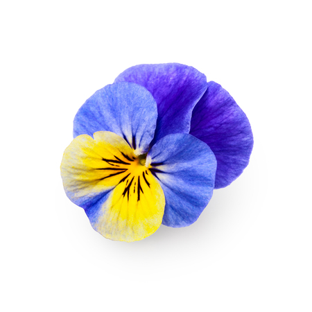 Pansy viola tricolor flower isolated on white background clipping path included, top view
