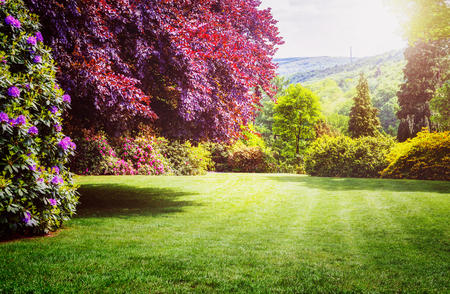 Spring park. City park with blooming rhododendron, fresh green lawn and copper beech tree. Springtime landscape background Stockfoto